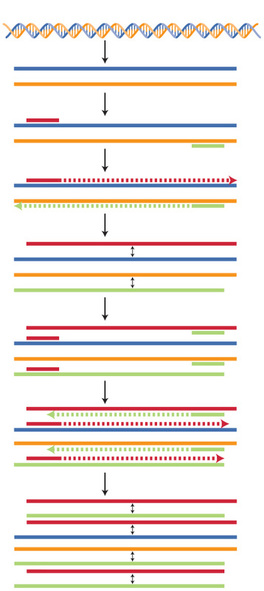 Polymerase Chain Reaction, PCR, DNA replication, color coding technique in illustration