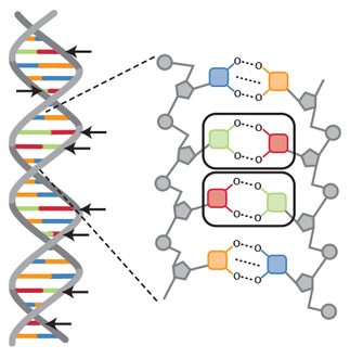 Complementary color coding in DNA, DNA base pair identification with color coding