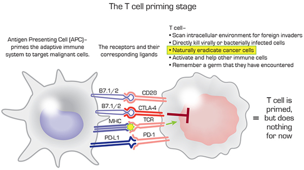 T cell priming by APC or dendritic cell