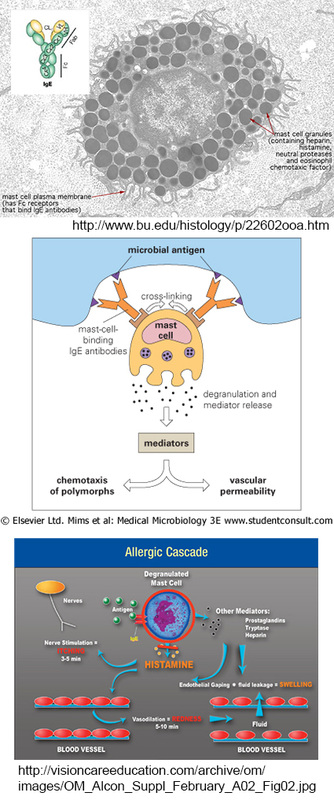 mast cells, IgE cross-linking, allergy responders