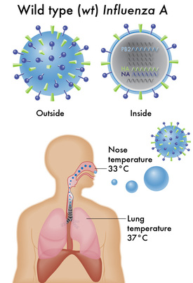Influenza infection, influenza infection versus common cold
