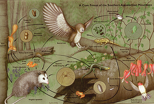 Food web of a cove forest in the Southern Appalachian Mountains