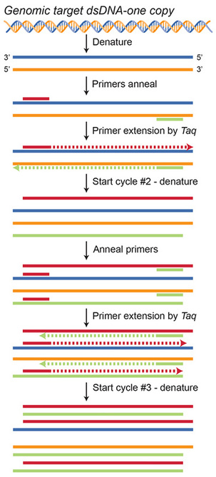 Polymerase Chain Reaction, PCR, DNA replication