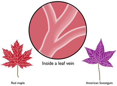 Why leaves are purple or red